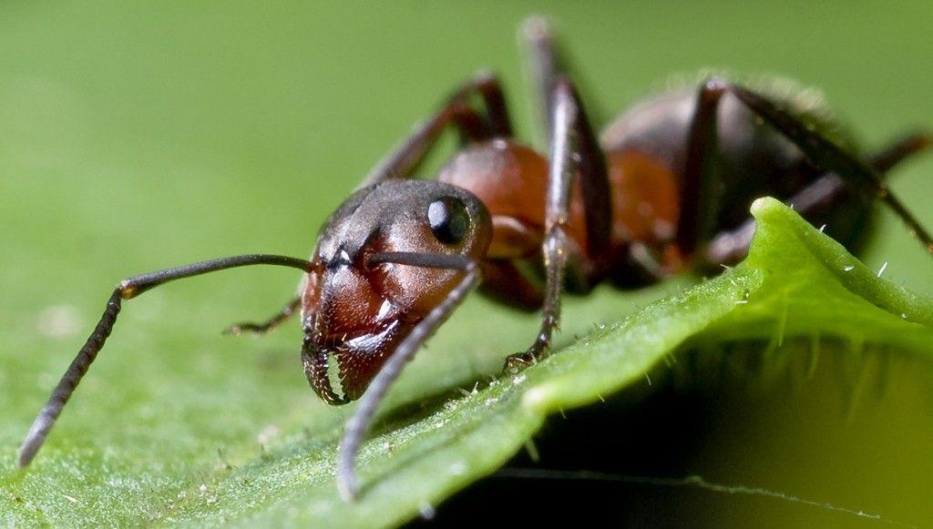 Ant  Simple English Wikipedia the free encyclopedia